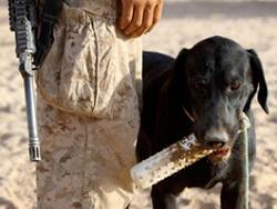Лабрадор-сапер Саби вернулась к службе в Афганистане