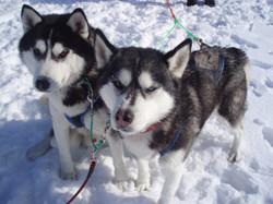 Cиротам в Рождественские каникулы устроят катания на собачьих упряжках (Архангельская область)