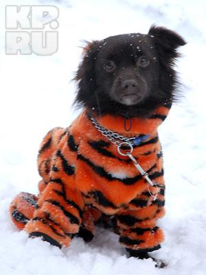 Пермячка сшила своей собаке карнавальный костюм Тигра