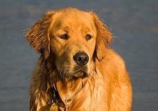 Собака спасла жизнь своему парализованному хозяину