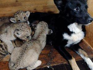 Новорожденных львят удочерила собака (Новосибирск)