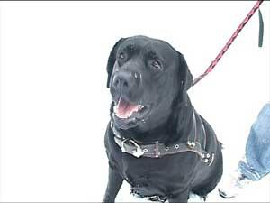 Неравнодушный хозяин и его храбрый пес задержали автомобильного вора, вооруженного ножом (Полтава, Украина)
