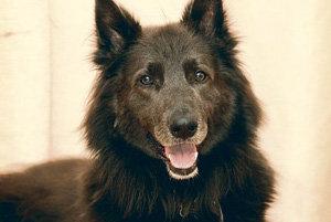 У пса нашли аллергию на мясо и кошек (Шотландия)