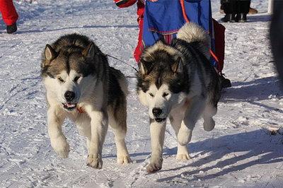 Туляк выиграл гонку на ездовых собаках
