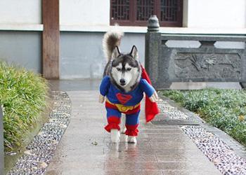 Лайка-«Супермен»