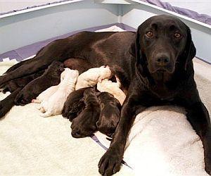 Cобака родила 16 щенков (США)
