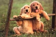 Очередное мошенничество в Интернете, на этот раз итальянцам обещали бесплатно породистых собак