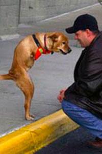Двуногая собака Вера ходит как человек