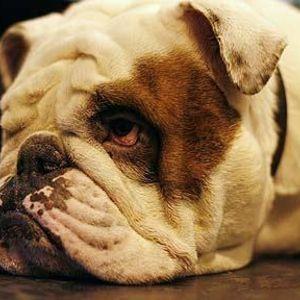 В Британии заставят страховать собак