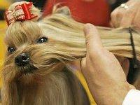 В Британии открывается самая престижная выставка собак