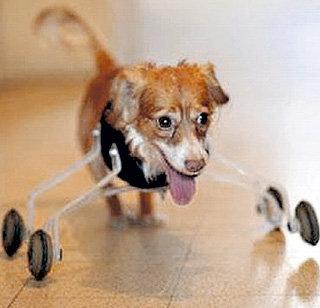 Животные-инвалиды не остаются без протезов