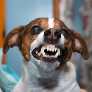 Учёные различили смысл в рычании собак