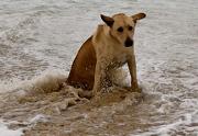 Привитые собаки гибнут от бешенства (Израиль)