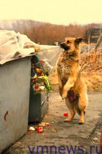 Собака бывает кусачей… (Мурманск)