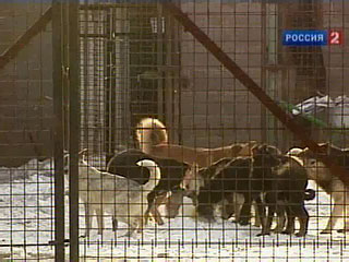 Сотни бродячих собак воют о помощи (Москва)