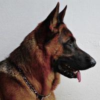 Иракцы подключают собак к борьбе с терроризмом