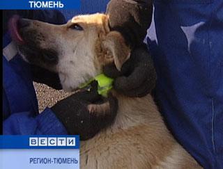 На улицах Тюмени появились собаки в желтых ошейниках