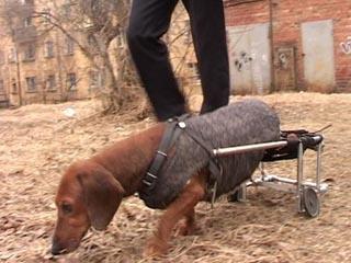 Друга в беде не бросают: иркутянин смастерил для своей парализованной собаки инвалидную коляску