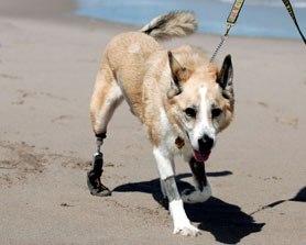Собакам ставят уникальные протезы