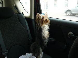 Может ли собака знать дорогу лучше чем GPS-навигатор? (Польша)