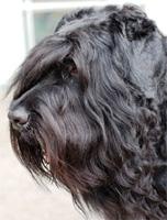 В Тольятти найдены две потерявшиеся породистые собаки