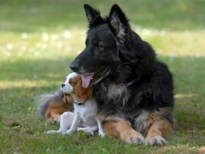 У слепой собаки есть собственный поводырь