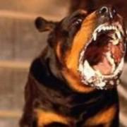 Хозяев агрессивных собак будут сажать (Украина)