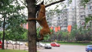 Собака из Китая научилась лазать по деревьям
