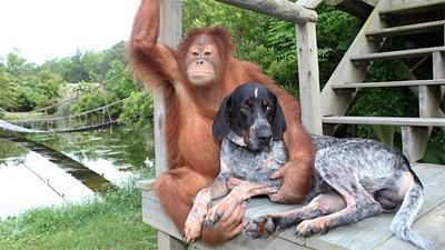 Одинокий орангутан подружился с собакой