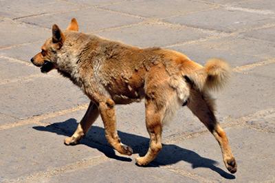 Собачья эпидемия (Амурская область)