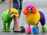 Китайские собаки стали жертвами разноцветной моды