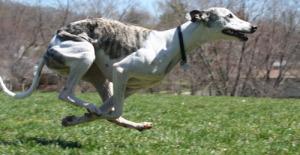 Порода уиппет возглавила мировой рейтинг самых дорогих по стоимости содержания собак