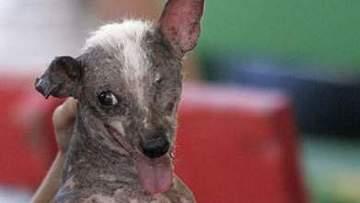 """В США прошел ежегодный конкурс """"Самая уродливая собака в мире 2010"""""""