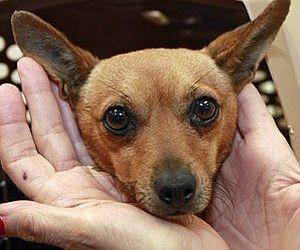 Калифорния: чихуахуа погибла, спасая детей хозяйки (США)