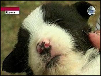 В одном из грузинских сел у кошки родился котенок с мордой собаки