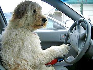 «Управление» автомобиля собакой завершилось в Латвии серьезной аварией