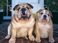 60% домашних собак могут умереть от ожирения