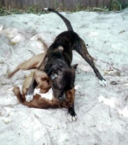 Бойцовых собак могут приравнять к оружию