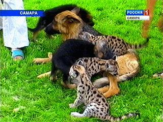 Посетителям Самарского зоопарка представят пумят, которых выкормила овчарка
