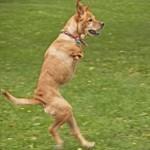 В армию США взяли двулапую собаку