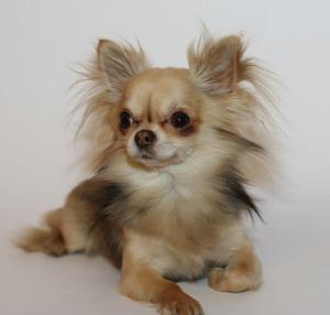 В штате Калифорния у слепого пса появился верный друг - чихуахуа, который выполняет роль поводыря
