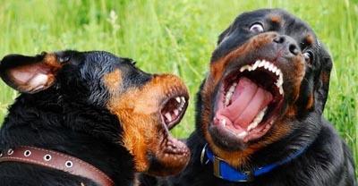 Собаковод получил пулю за выгул животных без намордника