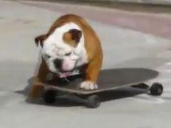 Во Флориде тренируется первый бульдог-скейтбордист!