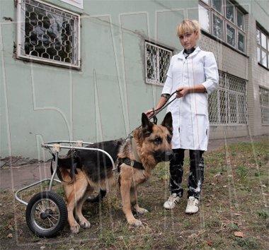 Собака на колесах