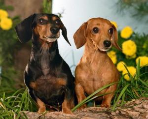 В американском городе Бронксвилл разработан законопроект, запрещающий собакам лаять более 10 минут в день