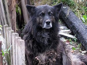 Пёс девять месяцев ждёт хозяина на пепелище (Владимир)