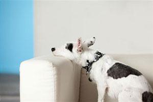 Собаки портят женские вещи от одиночества