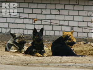В Нижегородской области хотят увеличить штрафы за выгул собак без поводка и намордника
