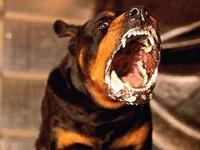 СКП РФ требует приравнять бойцовских собак к оружию