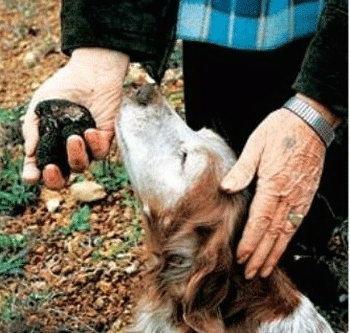 Итальянские собаки начали охоту на трюфели